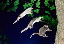 FlyingSquirrel5_sm