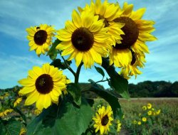 Intro01_sunflowers_sm