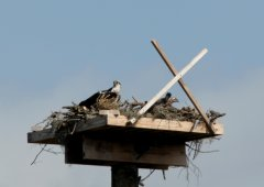Osprey_2chicks_sm
