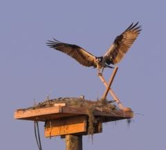 Osprey_Legare01_sm