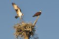 Ospreys building nest